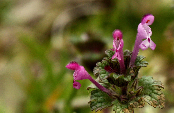 Close-up of blooming henbit (a.k.a. henbit deadnettle or greater henbit; Lamium amplexicaule) (2010_02_20_049844)