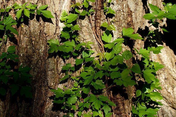 Poison ivy (Toxicodendron radicans) growing on the side of a tree (2010_04_10_052875)