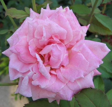 A rose (203_0311)