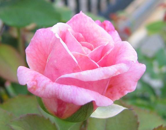 A rose (203_0312)