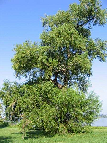 My favorite tree (208_0812)