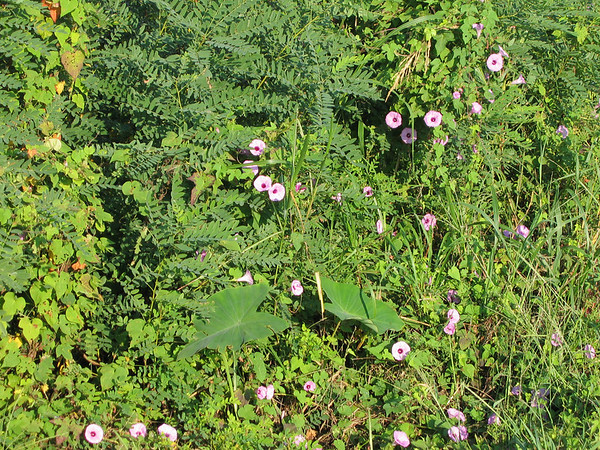Purple bindweed (a.k.a. cotton morning glories; Ipomoea trichocarpa)