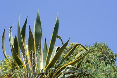 century plant - succulent plant - adobe RGB