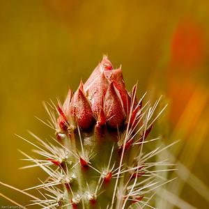 Cactus Flower Closeup