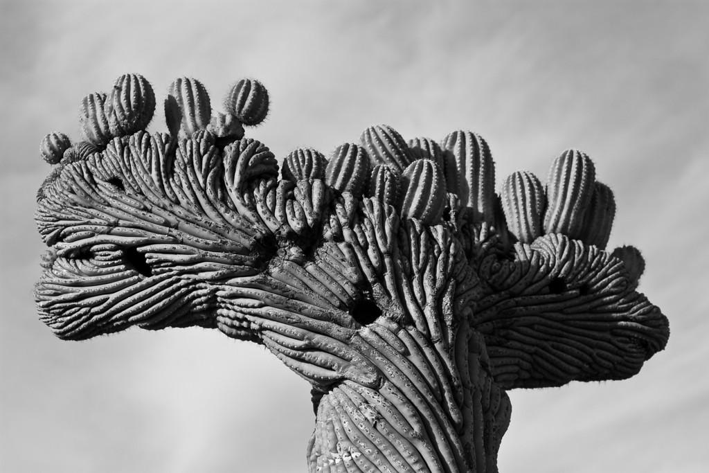 Injured saguaro