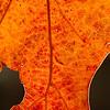 Backlit Red Oak leaf