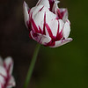 Sweden, Stockholm: Tulip (Tulpan).