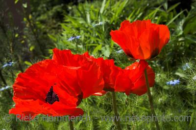 oriental poppies in red - papaver orientale