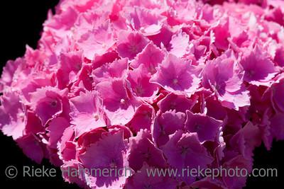 Hydrangea on black background - Hydrangea macrophylla