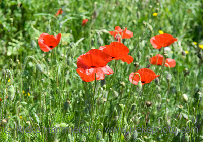 red poppies on a meadow - spring on the french riviera - adobe RGB