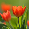 Sweden, Stockholm: Tulips (Tulpaner).