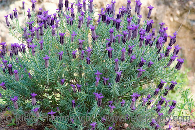 lavender - mediterranean flora - adobe RGB