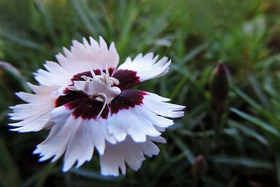 Brilliant Star Flower