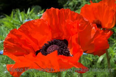oriental poppy in red - papaver orientale