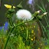 Chrysanthemum with tussock
