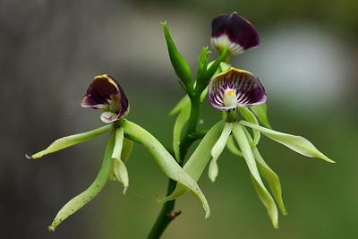 Orange Walk - Cockleshell Orchid