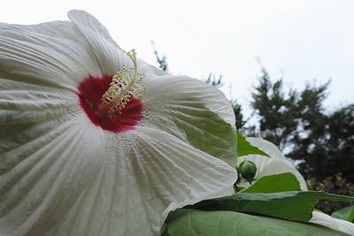 Eastern Rose-mallow