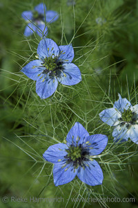 Love-in-a-Mist - focus is in the second flower from above