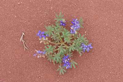 Lupine in the Sand