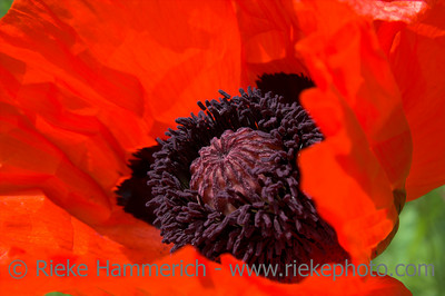 oriental poppy in red or papaver orientale