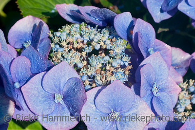 Blue Hydrangea close-up - Hydrangea macrophylla in bloom