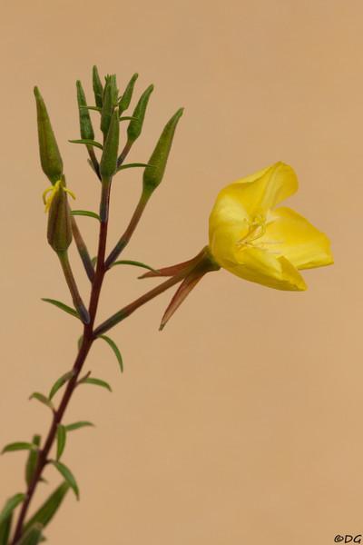 Sweden, Uppsala: Evening-primrose (Nattljus / Oenothera).
