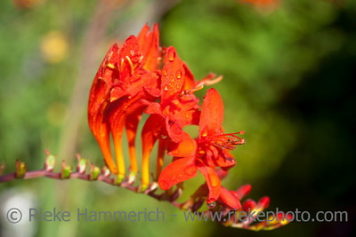 Crocosmia close-up - Red Flower in bloom