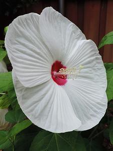 Hibiscus moscheutos (Hybrid Luna White)