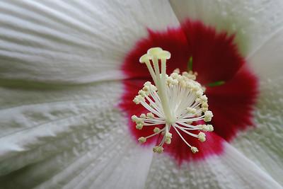 Crimsoneyed Rose-mallow