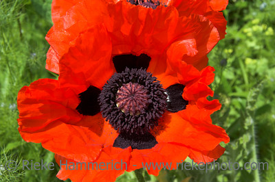oriental poppy in red - papaver orientale