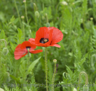 red poppies on a meadow - spring on french riviera - adobe RGB