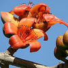 Flowers of the tree Bombax Ceiba