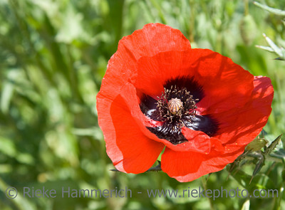close up of a poppy - wildflower on a  meadow - adobe RGB