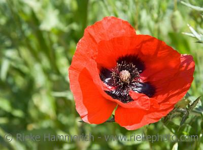 close up of a poppy - wildflower on a  meadow - adobe RGB