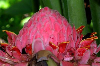 Misahuallí  - Torch Ginger Flower