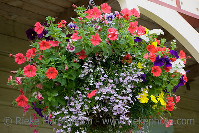 hanging basket in the sun - blossom of a mass flowers - adobe RGB