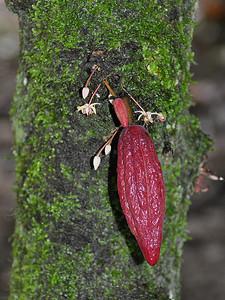 Belmopan - Young Cocoa Fruits