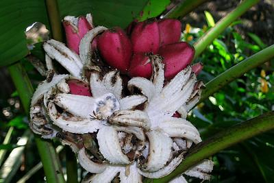 Misahuallí - Wild Pink Bananas