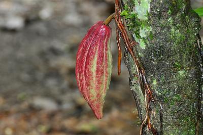 Belmopan - Cacao Fruit