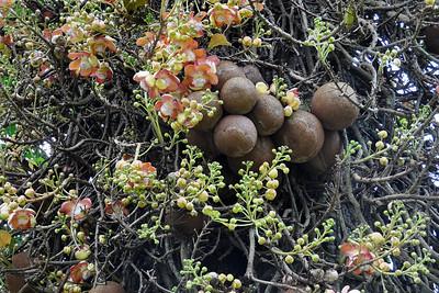 Peradeniya - More Flowers than Balls