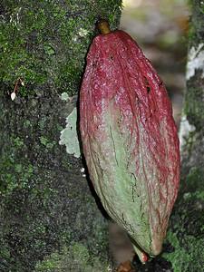 Belmopan - Grown Cacao Fruit