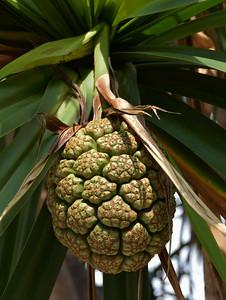 Honaunau Bay -  Screw Palm Fruit