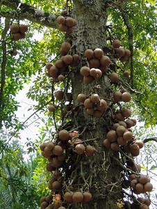 Peradeniya - Cannonballs Hanging from a Tree
