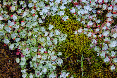 Succulents and moss - Lake Lagunitas