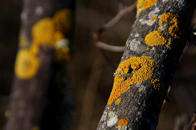 Lichen on branches, Jetty at Loch Lomand Marina, San Rafael, CA.
