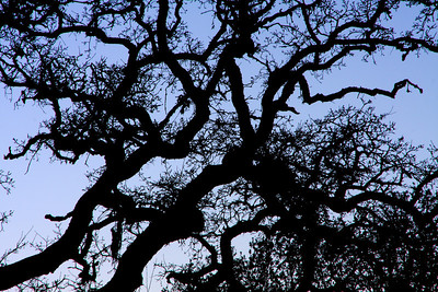 Evening Oak - Calistoga