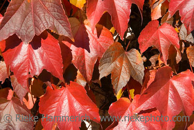 virginia creeper in autumn colors - beautiful climbing plant - adobe RGB