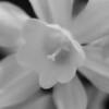 Daffodil (BnW)
