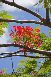 Flame Tree - Delonix regia on Rarotonga, Cook Islands, Polynesia
