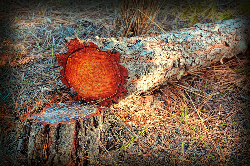 Sawn tree in dry forest